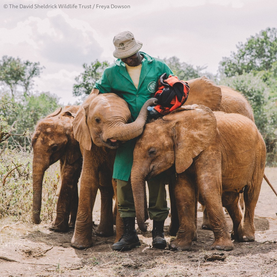 Above: Louise Mulgrew has first hand knowledge of the great work SWT does for wildlife conservation, with its elephant orphan programme among its most famous work. ©The David Sheldrick Wildlife Trust/Freya Dowson.