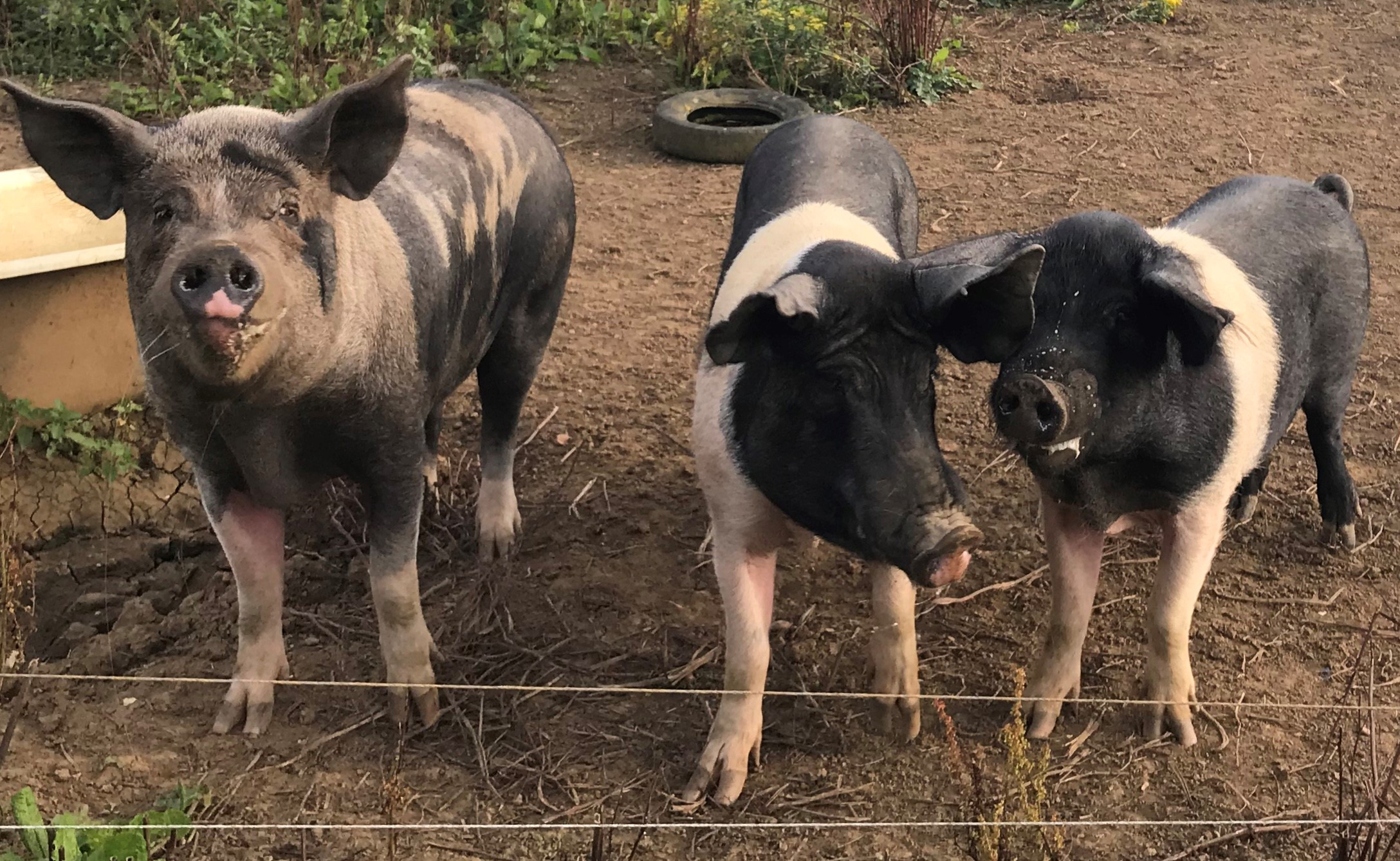 Above: Bangers, Sausage and Mash, Alan Williams' pet pigs who have had more attention with Tom and Sophie being there too.
