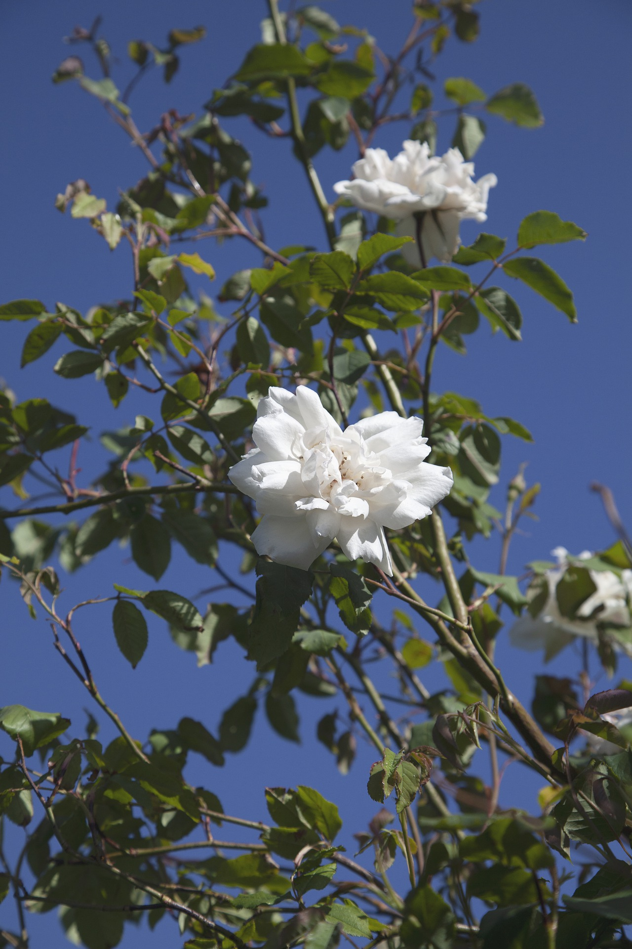 Above: Rosie Trow is a bloomin' great rambling rose.