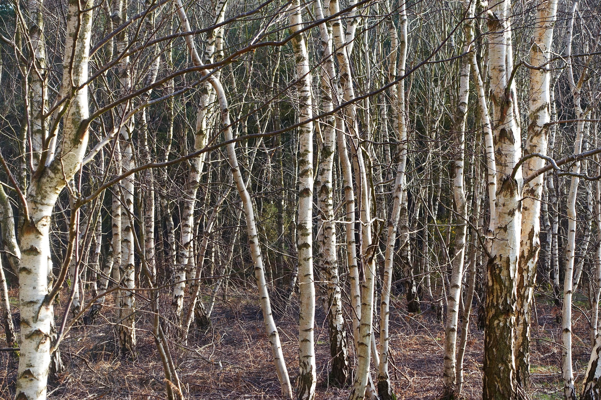 Above: Birch trees' adaptability resonates with life at the moment.