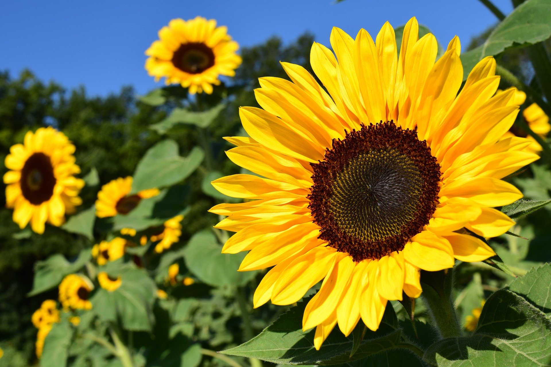 Above: Sunflowers put a smile on your face, just like Jo and Joanna do for their customers.